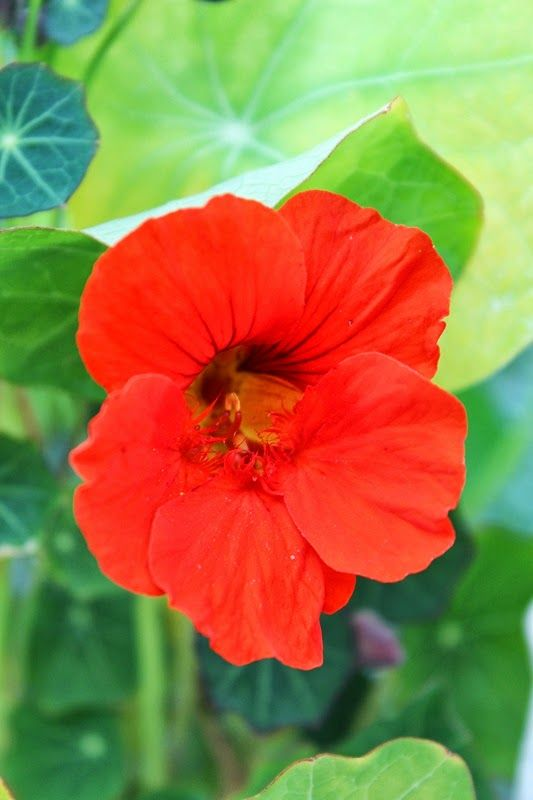 17 best images about nasturtiums on pinterest