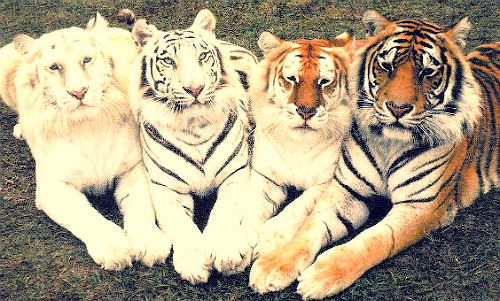 Ghost tiger, white tiger, tabby tiger & bengal tiger - so majestic.