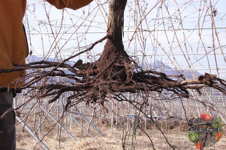 Чтобы пересадка винограда весной на новое место прошла успешно, запомните несколько простых правил, которые обеспечат приживаемость…