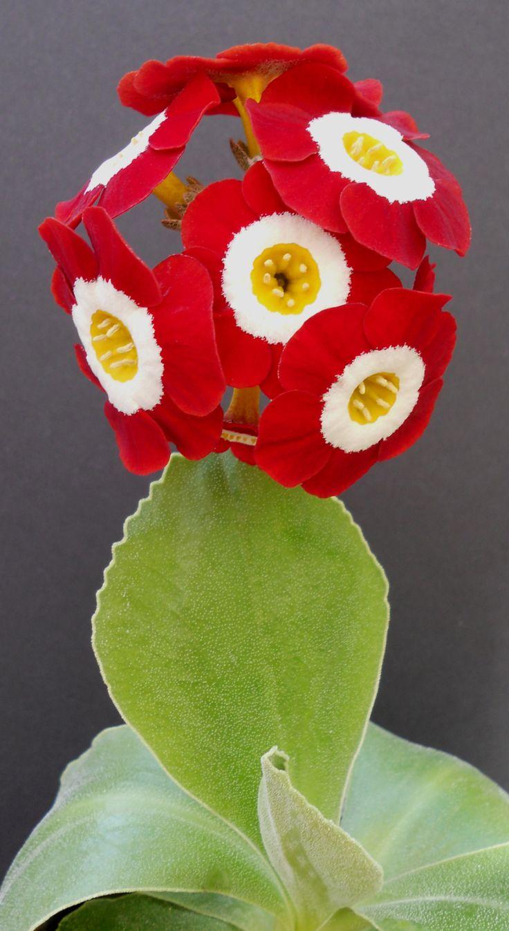 Auricula 'Scorcher'