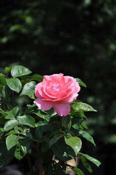 Rosa 'Queen Elizabeth''is een bijzonder populaire, middelgrote floribundaroos die in 1954 door Lammerts geïntroduceerd werd. Deze grootbloemige roos heeft een bossig opgaande, goed vertakte, compacte vorm met middelgrote, donkergroene, sterk glanzende bladeren. Hij bloeit in de zomer met grote, sterk gevulde, licht geurende, zilverroze bloemen (diam. 8-10 cm) en de uitbloei is lichtroze. Rosa'Queen Elizabeth'' houdt van een zonnige standplaats en een licht vochtige, ma...