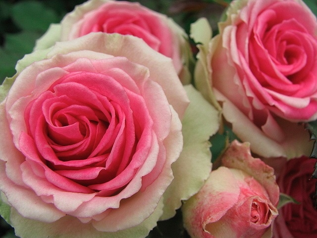 """Roses In Garden: 111 Best """"ROMANTICA"""" Roses From MEILLAND SERIES"""" Images On"""