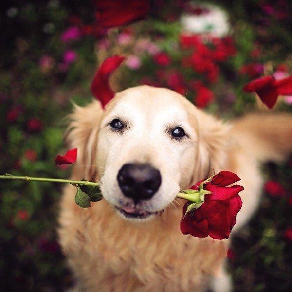 Romantic Golden Retriever...Flowers for you ❤️