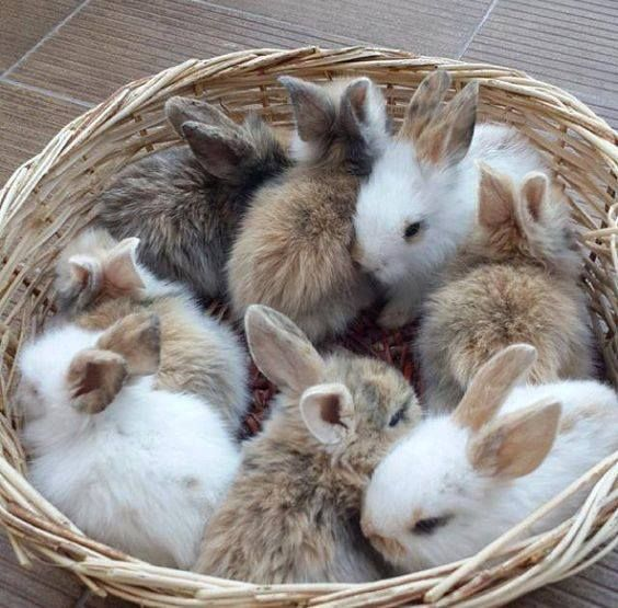 Precious basket of baby buns!