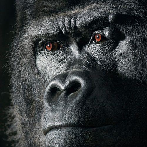 Gorilla by Tim Flach #animal #photography #gorilla
