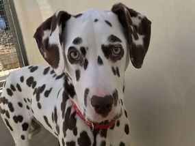 THE hangdog eyes of this poorly puppy highlight the dangers of buying cute looking pets online. Within weeks of being purchased over the internet, Beau the delightful Dalmatian was fighting for her life after being stricken by a deadly disease often found in puppy farm pets.