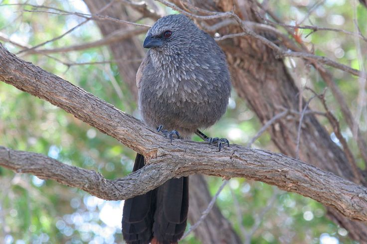 "Apostlebird - Corcoracidae Family- There are only two species in this family. They are both found in Australia (Apostlebird & White-winged Chough) The apostlebird, also known as the grey jumper, is a quick-moving, gray or black bird about 13"" long- native to Australia where it roams woodlands, eating insects & seeds at, or near, ground level. Apostlebirds often travel in groups of about 12; for this reason they were named after the Biblical apostles, the twelve chief followers of Jesus…"