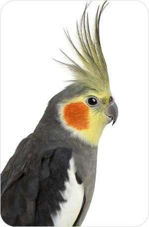 Papagayos Ninfa