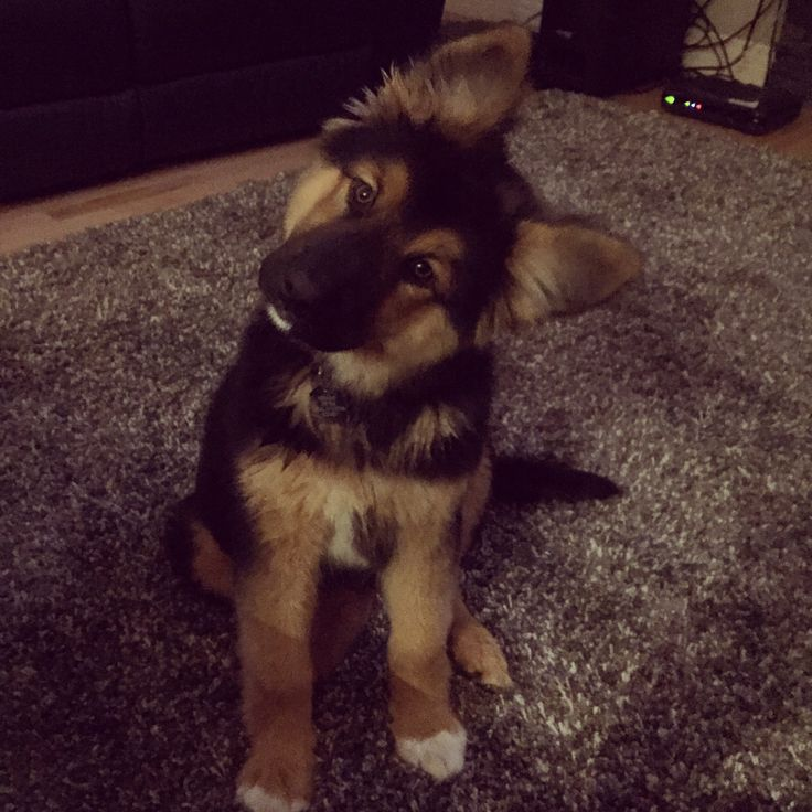 Bane German Shepherd/Husky mix | Pawshake