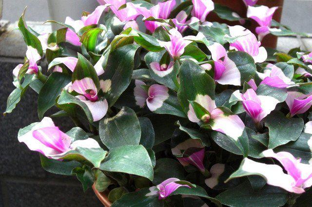 piante sempreverdi da balcone - Cerca con Google