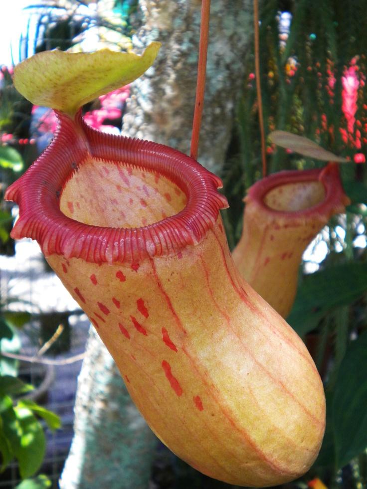 Cock plant