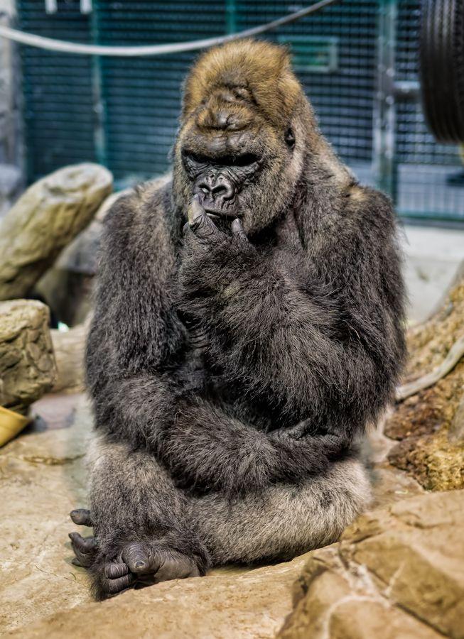 Gorilla at Como Zoo.  Thinking...