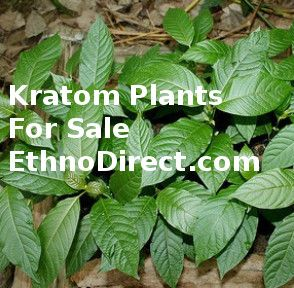 If you are looking for a Kratom Plant go to…