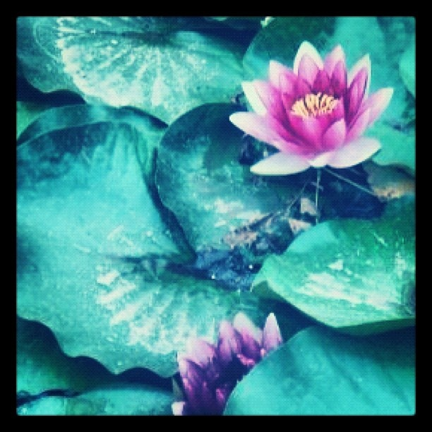 #Lotus #flowers #china #beijing #ethnicpark #creation #green #pink #colors