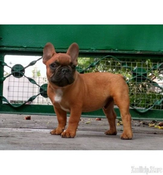 French Bulldog Exclusive Puppies Price 1 400 French Bulldog