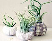 Airplants @Jennifer Perron - thought this was rad :)