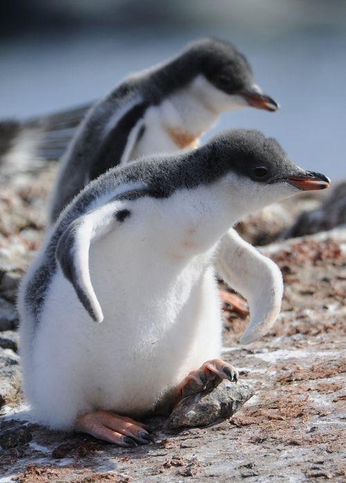 Yavru penguenler