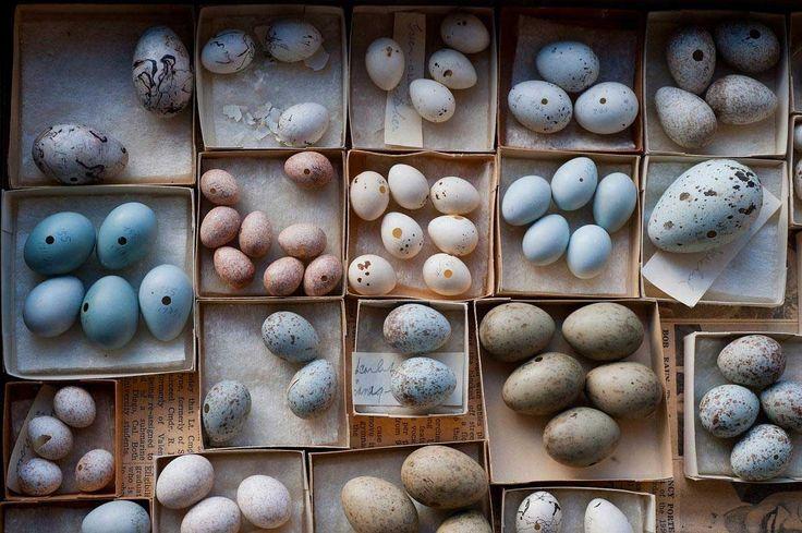 米ネブラスカ州立大学博物館の卵コレクションは、鳥の卵にも違いが大きいことを実感さ...