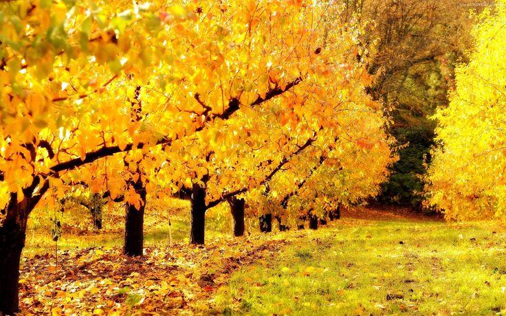 żółte drzewka