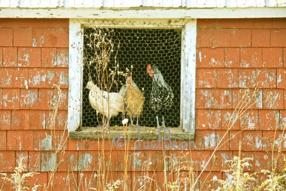 Beautiful country farm hen print with barn at https://www.etsy.com/listing/179000461/photography-autumn-farm-chickens-chicken