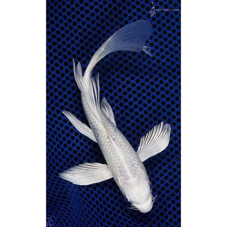 """6"""" Platinum Ogon Butterfly Koi   Koi Fish For Sale"""