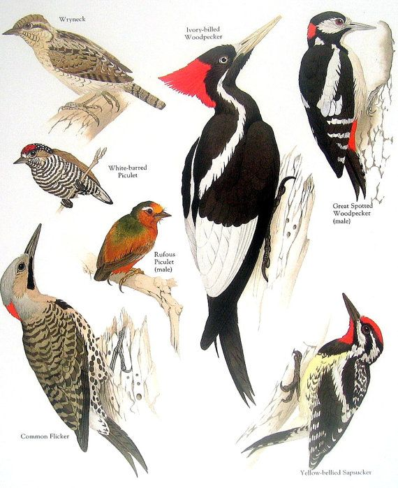 52 Best Images About Woodpeckers On Pinterest Print