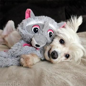 Check out Triscuit's profile on AllPaws.com and help him get adopted! Triscuit is an adorable Dog that needs a new home. https://www.allpaws.com/adopt-a-dog/chinese-crested-powder-puff/5078439?social_ref=pinterest
