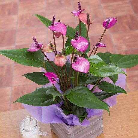 a unique purple anthurium plant featuring exquisite flowers and displayed in a mini wooden crate