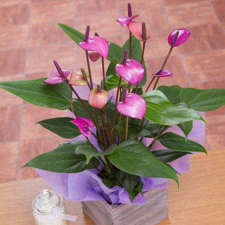 Flowering House Plants Purple 7 best house plants images on pinterest | house plants, branches