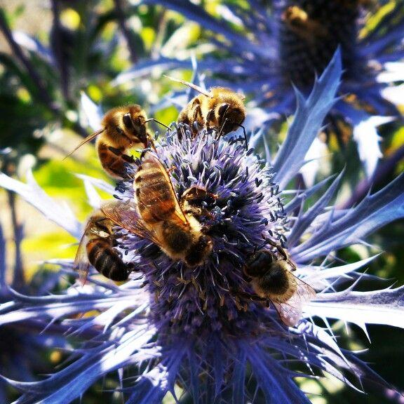 Klub Zapylacza! #bees #pszczoly #flower #kwiat #ogród #garden
