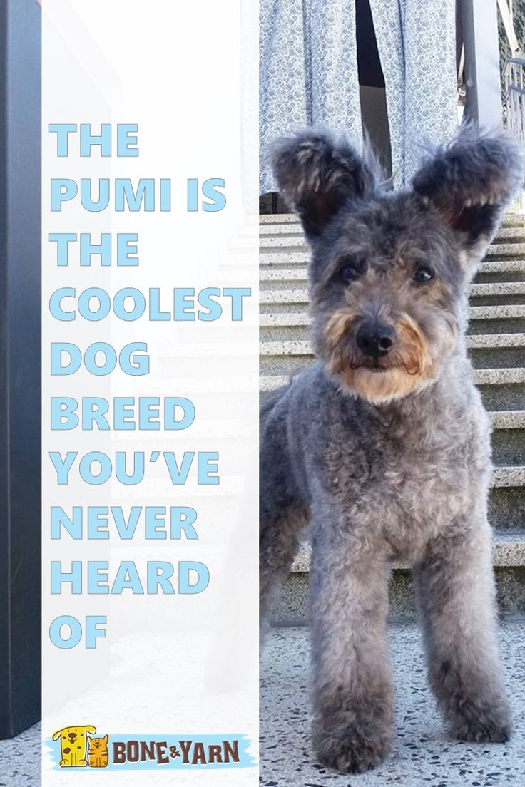 Pumi, adorable Hungarian breed recently recognized as official breed by the AKC.