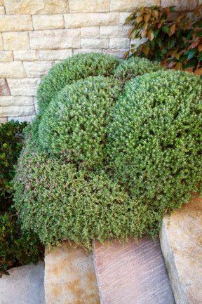 Coast Rosemary or Australian RosemaryWestringia fruticosa  - made into shape
