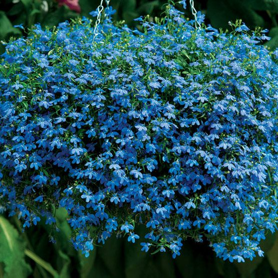 Lobelia, a beautiful blue semitrailing flower that does well in shade and looks lovely in hanging baskets.