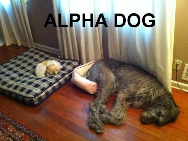 Bahahahaha: Animals, Dogs, Bed, Pets, Funny, Irish Wolfhound, Funnie