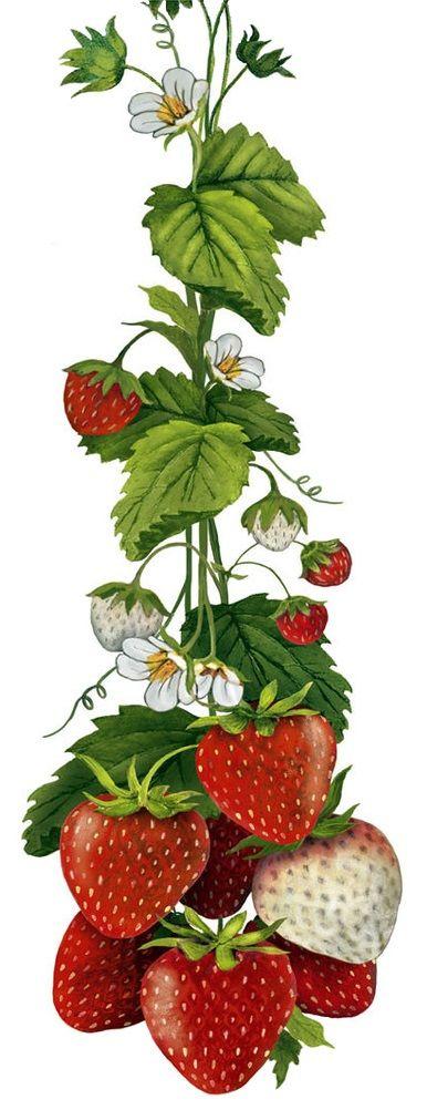 Summer Strawberries (Mary Lake Thompson)