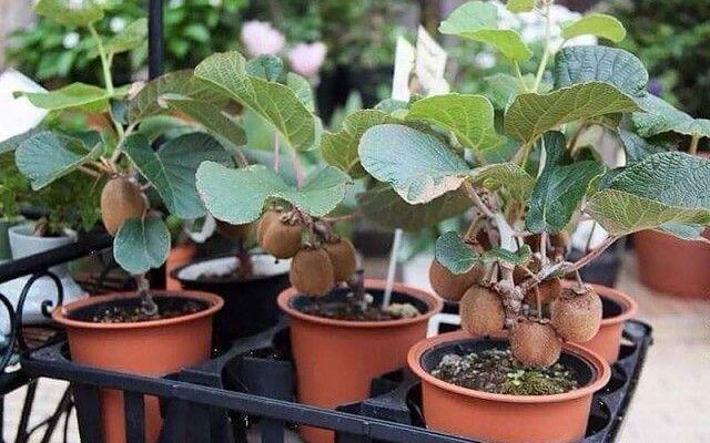 Vypestujte si kiwi u vás doma. Je to jednoduché ako klasické pestovanie rastlín. Tu je moje tajomstvo   Báječné Ženy