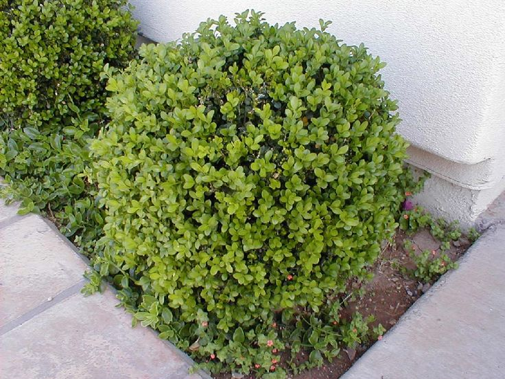 Boxwood Japanese Boxwood Boxwood Pinterest Shrubs