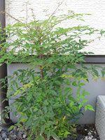 おすすめの庭木 - 庭木で開運 自分でできる簡単な剪定