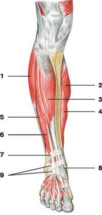 Calf muscles | Human Anatomy