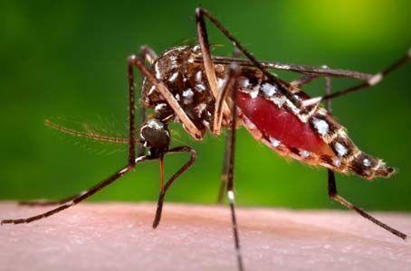 La importancia de identificar las poblaciones del mosquito que transmite el virus del zika