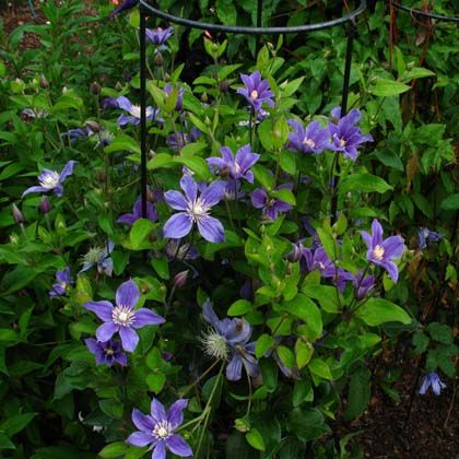 18 best to clematis images on pinterest climber plants climbing vines and nuthatches. Black Bedroom Furniture Sets. Home Design Ideas