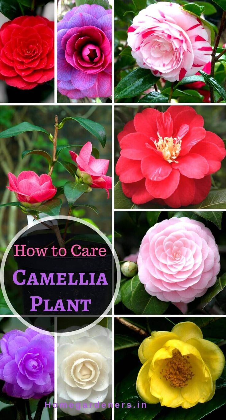 ere is the step by step procedure to grow camellia plants from seeds in pots #Camellia Plant