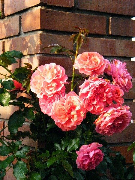 Znalezione obrazy dla zapytania róże angielskie