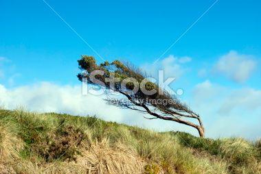 Windswept Tree on Coastal Bank, New Zealand Royalty Free Stock Photo