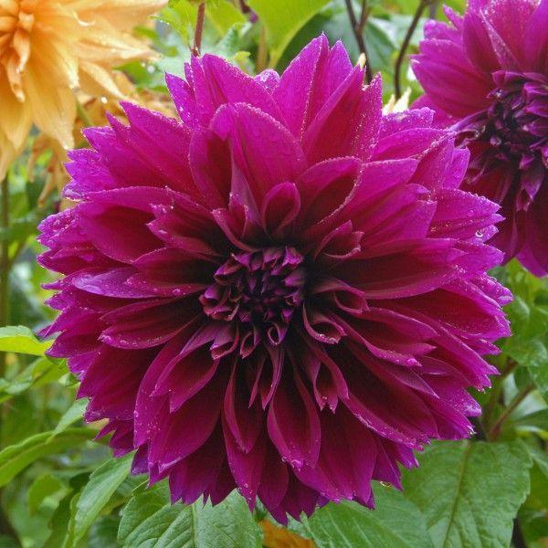 die besten 17 ideen zu lila dahlie auf pinterest lila. Black Bedroom Furniture Sets. Home Design Ideas