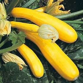 SQUASH F1 'Atena Polka' i gruppen Grönsaksväxter hos Impecta Fröhandel (9755)