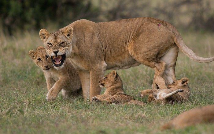 Protective mum #kenya #safari