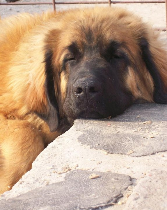 Leonberger- definitely my next dog!!