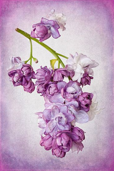 ~~Lilac Blush by Leslie Nicole~~
