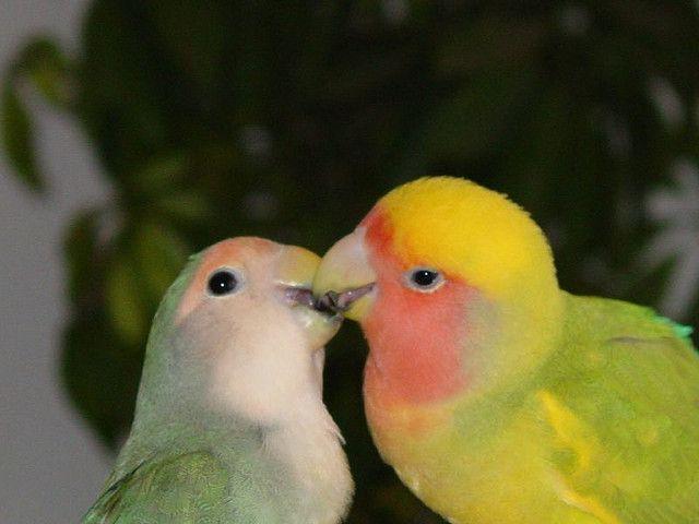 """Ce n'est pas par hasard qu'on appelle ces oiseaux les """"inséparables"""""""